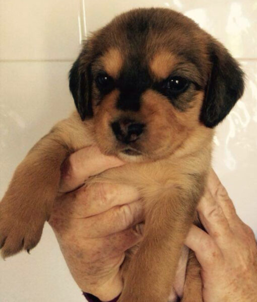 puppy_amber
