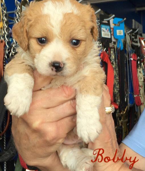 puppy_bobby