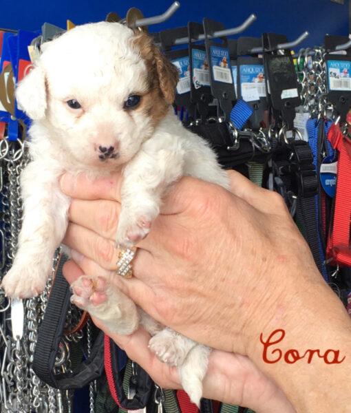 puppy_cora