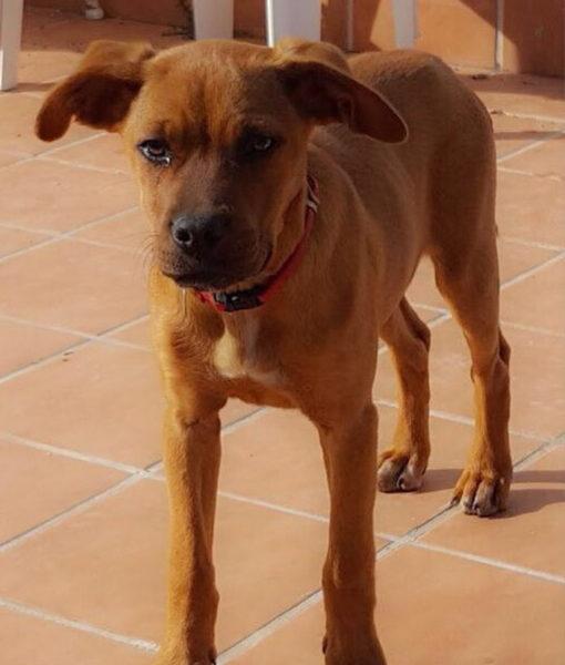 puppy_boxer_cross