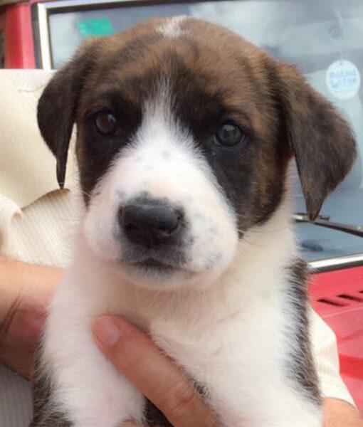 puppy_mastin_puppy_2