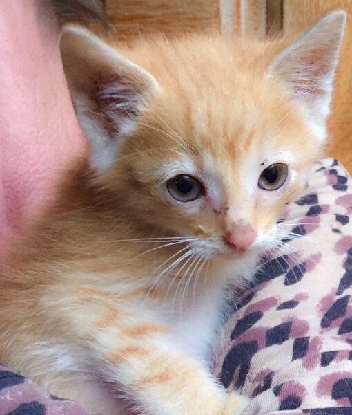 kitten_ginger-boy-02