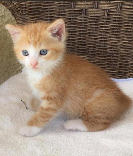 kitten_ginger_spice