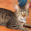 cat_tabitha