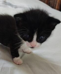 Kitten_dixie_2