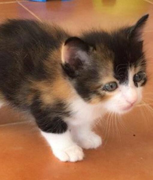 kitten_tort_1