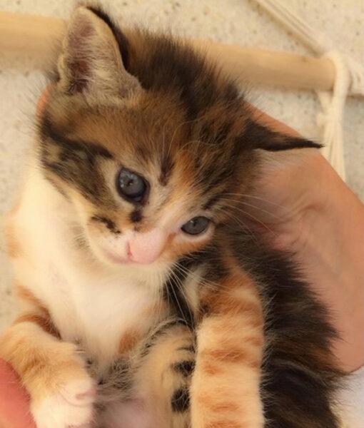 kitten_tort_2