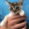 kitten sansa